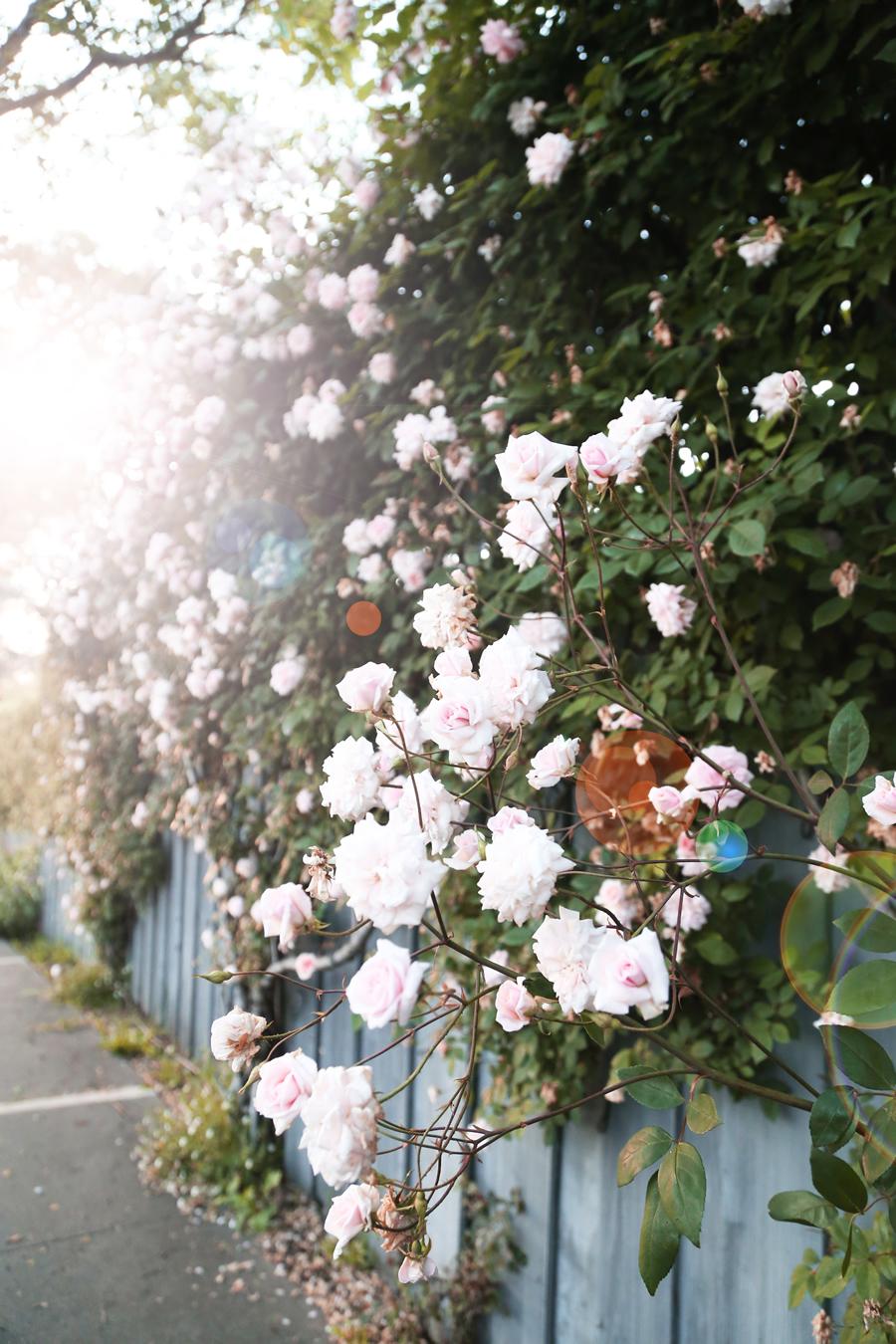 gardenofroses7